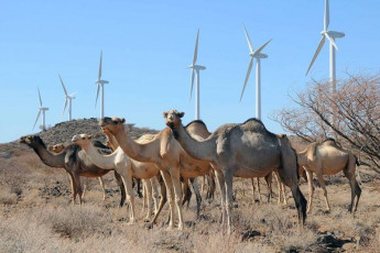 Camels on wind farm 1