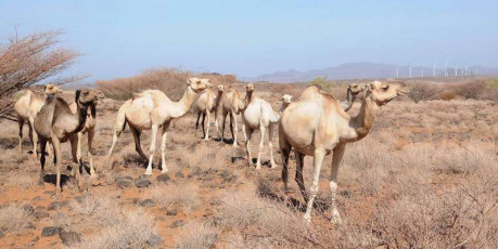 Camels on wind farm 2
