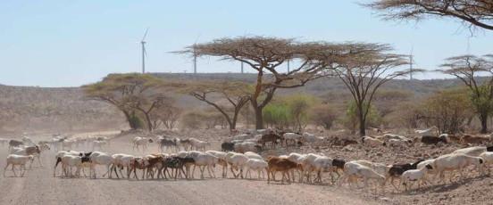 Goats on wind farm 2